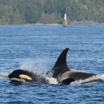 Northern Resident orca Holly with a calf