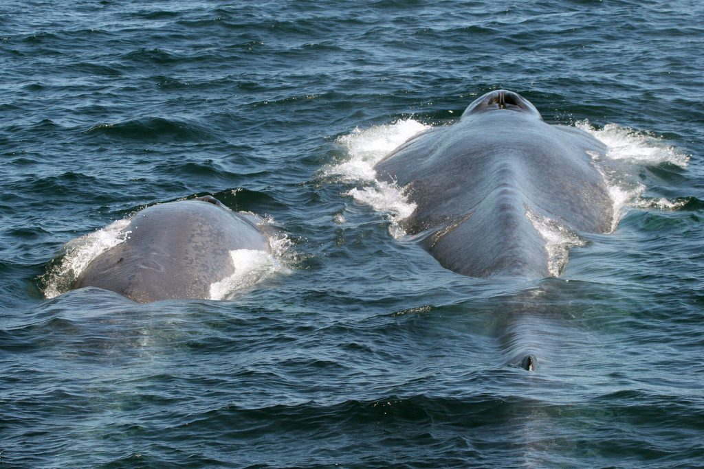 Which is the largest whale species?