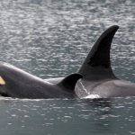 orca-rob-lott-2