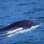 orca-surface-megan-hockin-bennett-300