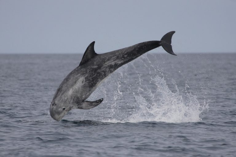 Risso's dolphin breaching with its whole body out of the water