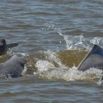 Amazon River dolphin (Boto)