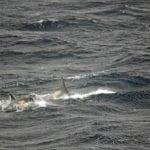 type-a-orcas-antarctica-miguel-iniguez