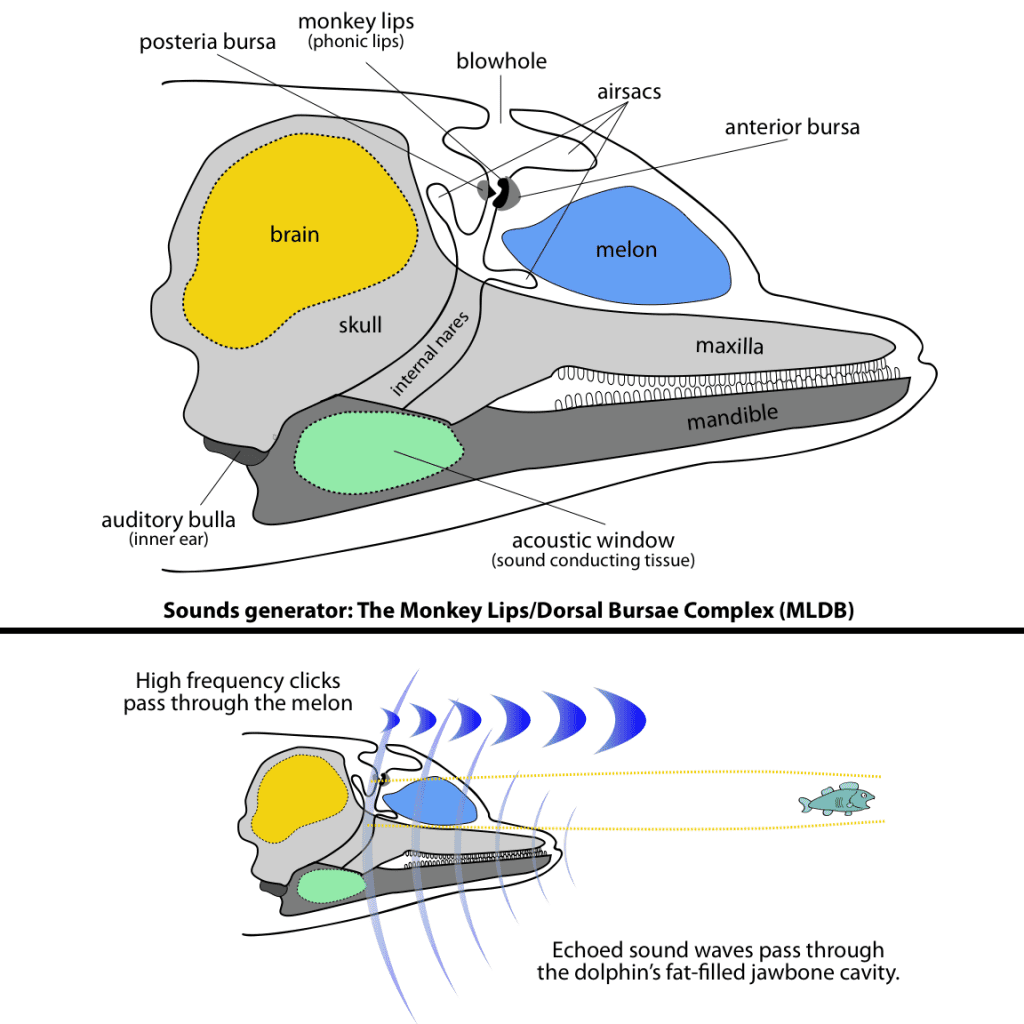 Dolphin echolocation