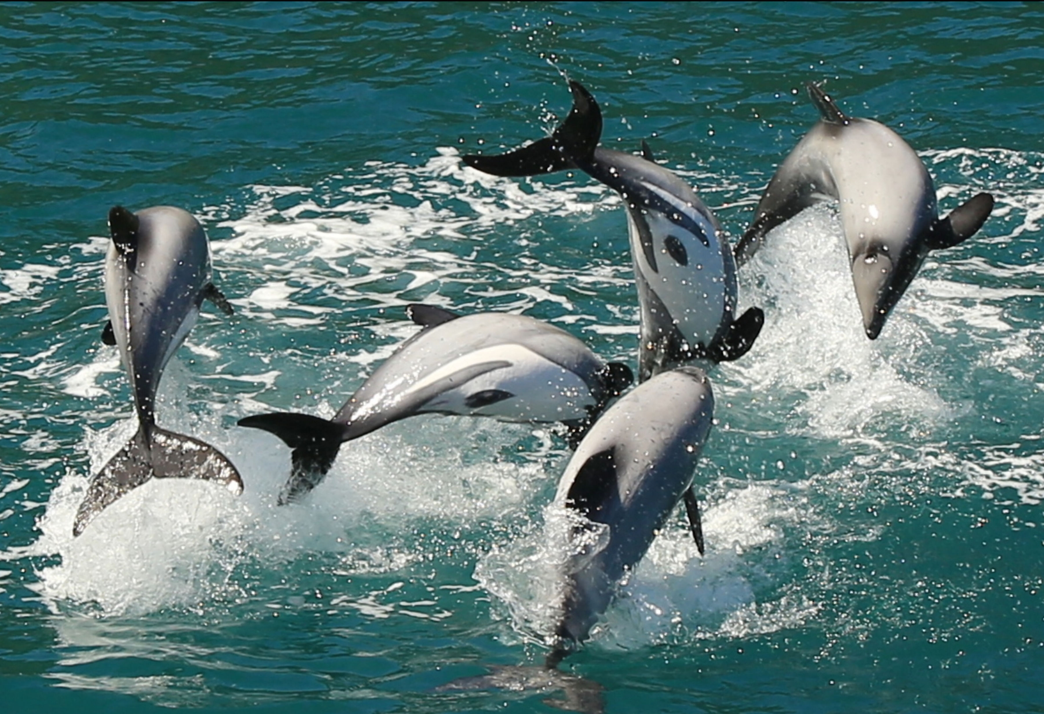 A group of New Zealand dolphins leaping