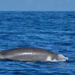 Shepherd's beaked whales
