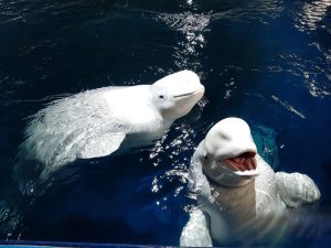 BELUGA WHALE SANCTUARY UPDATE:  Little Grey and Little White take first swim in their new sanctuary home