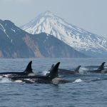 Orcas in far east Russia.