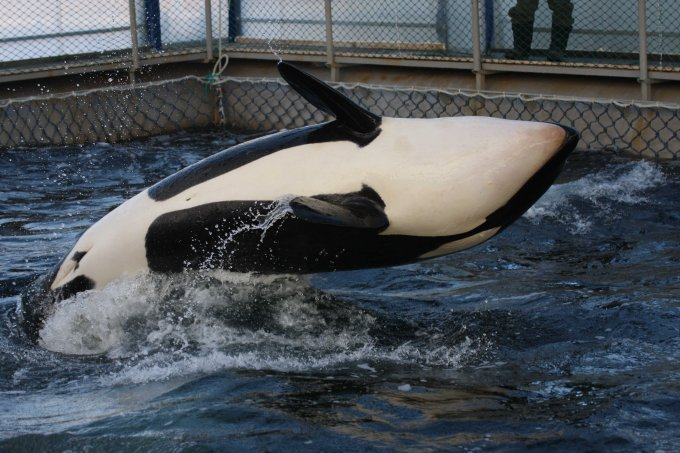 orca jumping out of water upside down in captivity