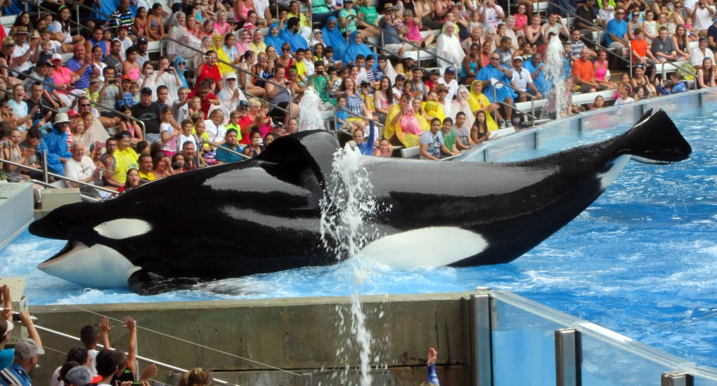 Tilikum the orca landing on platform during show in captivity