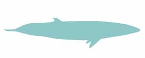 Minke whale illustration