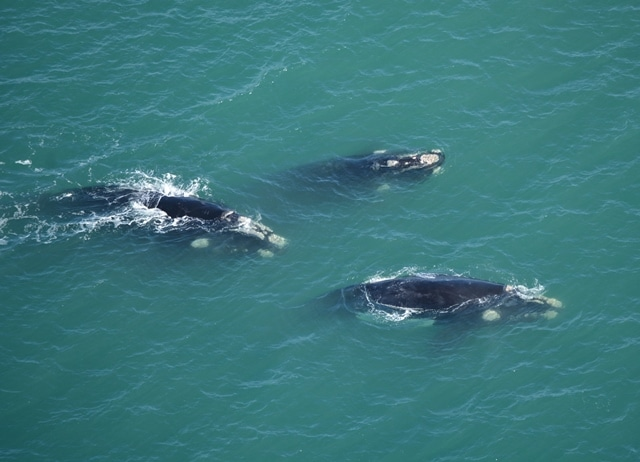 Group of southern right whales