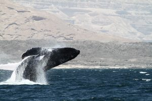 Arabian Sea Humpback Whale,