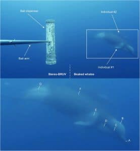 Shepherds beaked whale underwater